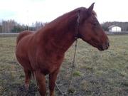 продам или обменяю коня